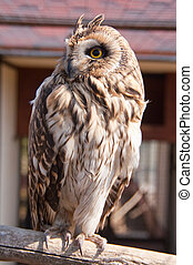 Closeup portrait of an owl Asio flammeus - Closeup portrait...