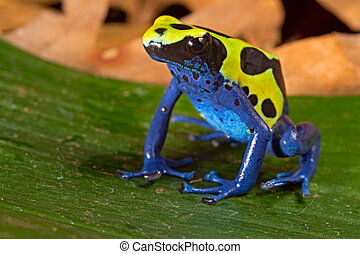 poison dart frog with bright vivid blue green colors....