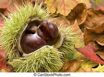 Fresh chestnuts and autumn leaves - Fresh chestnuts with...