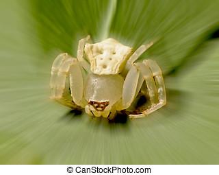Misumenops tricuspidatus (Fabricius) a white limpid spider