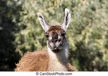 Guanaco Lama guanicoe - Male guanaco Lama guanicoe