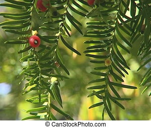 Bunches of yew berries on barbed twigs move in the wind