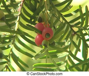 Bunches of yew berries on barbed twigs move in the wind.