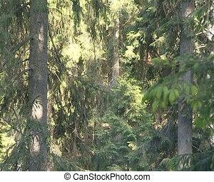 The descent from fir tops