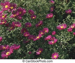 Red flowers with narrow leaves and