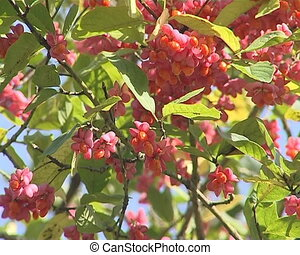Branches of tree with berries - Branches of the tree covered...