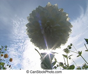 White dahlia flowers and sun rays