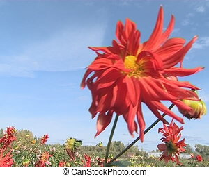Red dahlia illuminated by sun