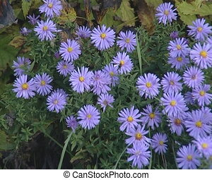 Blue flowers with narrow leaves and round yellow middle.
