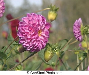 Pink color dahlia in botanical