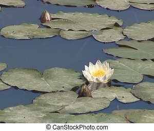 Blooming water lilies and their leaves in the lake. Water...