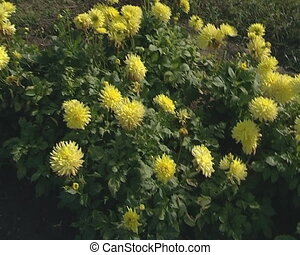 Yellow and other color dahlia