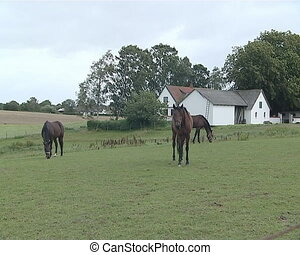 Three brown horses eat grass in the meadow. Stables in...