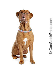 Bordeaux dog or French Mastiff in front of a white...