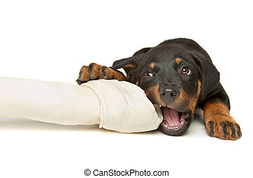 Rottweiler puppy with a huge white bone in front of a white...