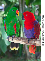 Pair of lori parrots - Birds in love: Pair of lori parrots...