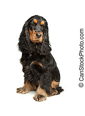 Black and Tan English Cocker Spaniel - English Cocker...