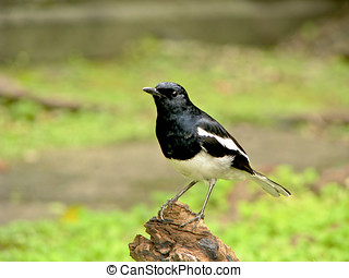 Oriental Magpie Robin,male a bird stand on branch