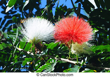 Persian silk tree Albizia julibrissin foliage and flowers