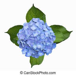 Hydrangea Homigo - Blue Hortensia Hydrangea Homigo flower...
