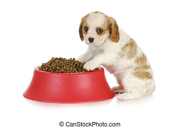 puppy with dog food bowl - feeding the dog - cavalier king...
