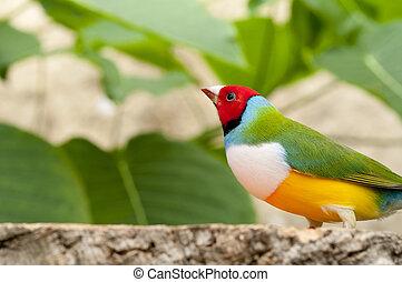 Australin Gouldian Finch - The Australian Gouldian Finch in...