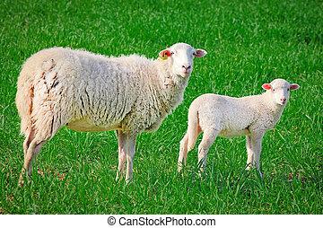 sheep, ewe with baby lamb