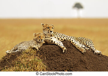Masai Mara Cheetahs - A cheetah Acinonyx jubatus and cheetah...