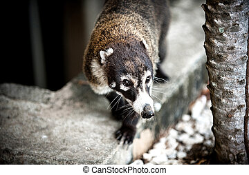 Coati - Image of a Coati in Costa Rica