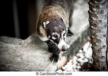 Coati - Image of a Coati in Costa Rica