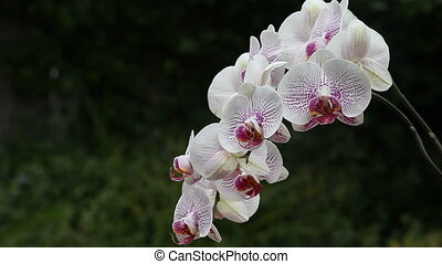 spotted orchid - exotic magenta and white orchid flowers...