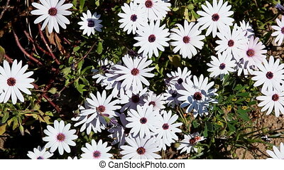 beautiful white daisy, shooting Canon 5D MarkII