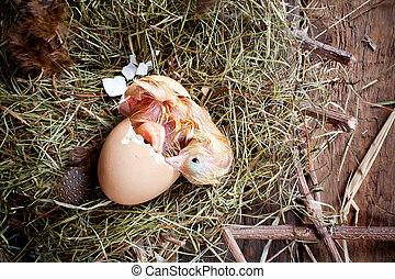 Yellow chick birth - Yellow little chick hatching out of its...