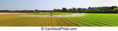 Irrigation field panorama - Panorama of salad field with...
