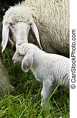 Mother Sheep with baby lambe - A young mother sheep...