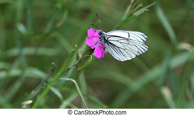 white, striped butterfly  sits on purple wild carnation