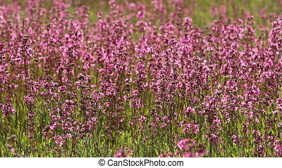purple wildflowers in the meadow, full hd video