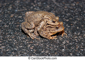 Couple Of mating Toads Crossing Road - Frogs, toads and...