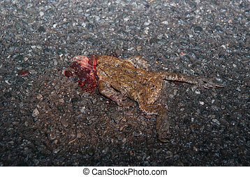 Roadkilled Toad On Street - Frogs, toads and newts are...