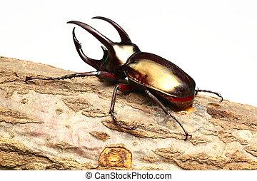 Atlas beetle on sawtooth oak