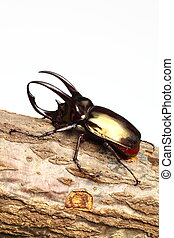 Atlas beetle on sawtooth oak