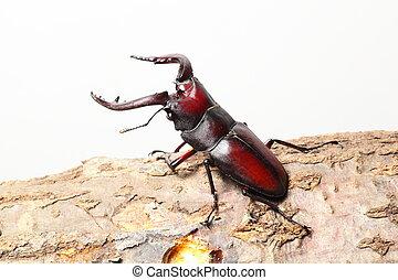 Stag beetle on sawtooth oak