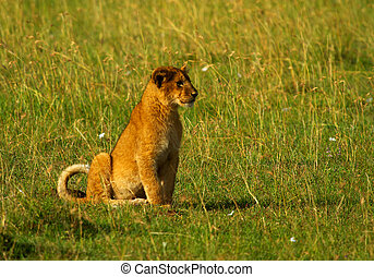 One little lion cub - One little African lion cub in long...