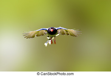 Formosan Blue Magpie a bird in flight