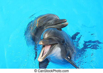 two dolphin  - two lovers dolphin swimming in the pool