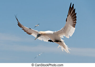 Flying northern gannet - Northern gannet flying under a blue...