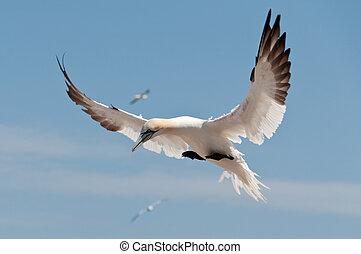 Flying northern gannet - Northern gannet flying under a blue...