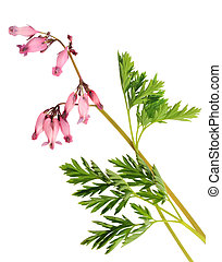 dicentra - Blossoming branch of pink dicentra isolated on a...