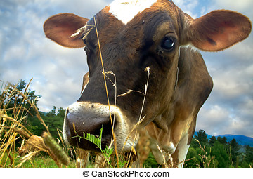 Dairy Cow Head Shot - Below the grass extreme close view of...