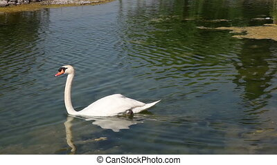 swan - white swan swiming in the lake, shooting Canon 5D...